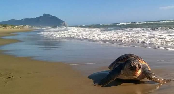 Tartaruga avvistata sulla spiaggia di Sabaudia