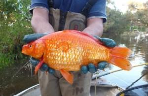 """Pesci rossi, se sopravvivono nei fiumi diventano """"mostri"""""""