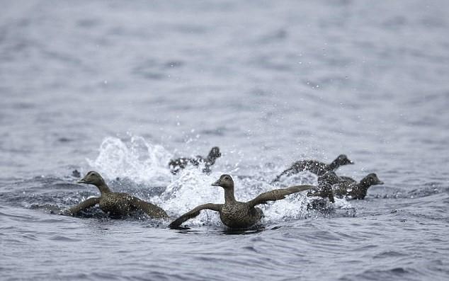 Anatre diventano preda di un branco di orche5