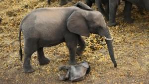 Guarda la versione ingrandita di Elefantino ha zampa ferita: la mamma non lo lascia mai FOTO