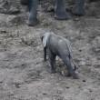 Elefantino ha zampa ferita: la mamma non lo lascia mai2