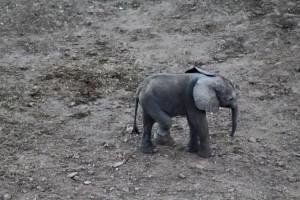 Elefantino ha zampa ferita: la mamma non lo lascia mai77