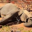 Elefantino ha zampa ferita: la mamma non lo lascia mai