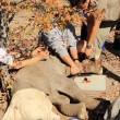 Elefantino ha zampa ferita: la mamma non lo lascia mai5