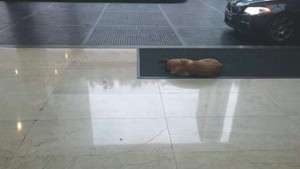 Guarda la versione ingrandita di Cane randagio aspetta 6 mesi hostess fuori da hotel FOTO