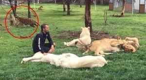 YOUTUBE Leopardo sta per attaccare, addetto zoo salvato da tigre