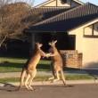 Lotta senza esclusione di colpi tra 2 canguri in Australia3