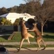 Lotta senza esclusione di colpi tra 2 canguri in Australia4