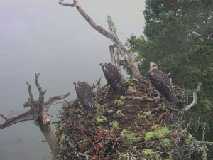 Guarda la versione ingrandita di Natura spietata aquila calva attacca nido falco