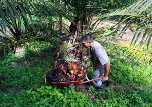Guarda la versione ingrandita di Olio di palma sostenibile è possibile: come e perché
