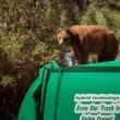 Orso a spasso nella foresta sul camion dei rifiuti 2