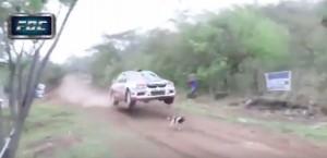 Guarda la versione ingrandita di YOUTUBE Rally Codasur, cane più fortunato al mondo: investito, sopravvive