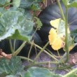 Mistero del giardino che crea girasoli di 4 m e zucche di 40 kg FOTO4