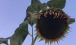 Mistero del giardino che crea girasoli di 4 m e zucche di 40 kg FOTO