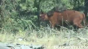 Guarda la versione ingrandita di YOUTUBE Orso grizzly affamato sbrana mucca