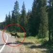 Orso grizzly affamato sbrana mucca