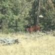 Orso grizzly affamato sbrana mucca 3