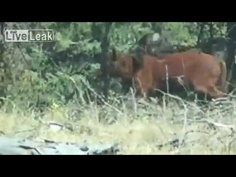 Orso grizzly affamato sbrana mucca 2