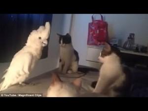 Guarda la versione ingrandita di YOUTUBE Pappagallo imita alla perfezione i gatti