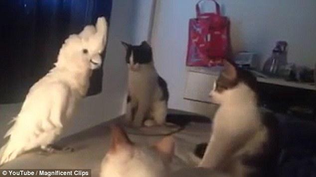 Pappagallo imita i gatti alla perfezione 2