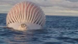 Guarda la versione ingrandita di Mostro marino in Australia? Pescatore scatta FOTO: era la carcassa di una balena