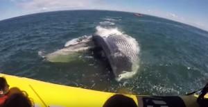 Balena si avvicina al gommone: paura e stupore tra i turisti