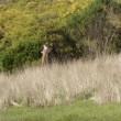 Lotta senza esclusione di colpi tra 2 canguri in Australia