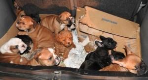 Gorizia: 25 cuccioli in un'auto, fermata coppia per traffico di cani