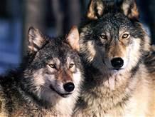 Una coppia di lupi