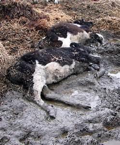 Mucche morte in zona colpita