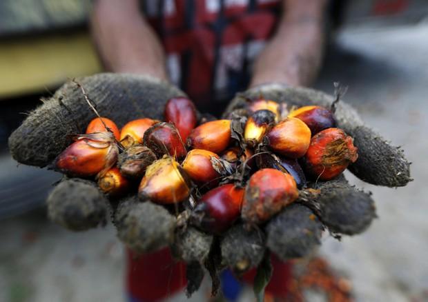 Olio di palma nella storia origine e diffusione del - Storia di palma domenica ks1 ...