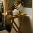 Samson gatto più grande del mondo7