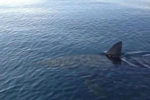 """Messina, avvistato squalo di 5 metri. Capitaneria: """"Fate attenzione"""""""