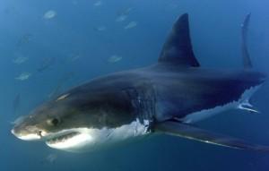 Guarda la versione ingrandita di Messina: squalo di 5 metri nelle acque davanti al rione di Pace (foto d'archivio Ansa)