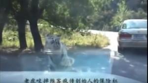 "YOUTUBE Tigre ""mangia"" paraurti...ancora a zoo Pechino"