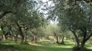 Guarda la versione ingrandita di Puglia, 231 ulivi del Salento bloccano i lavori per il gasdotto internazionale