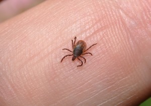 Topi modificati geneticamente per combattere il male di Lyme, la malattia delle zecche
