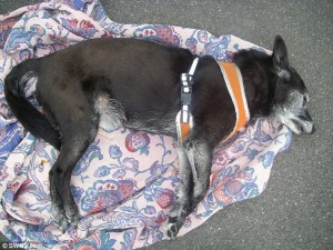 Cani in auto sotto al sole per 5 ore muoiono