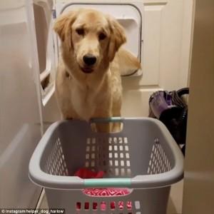Harlow, il golden retriever che sa fare il bucato