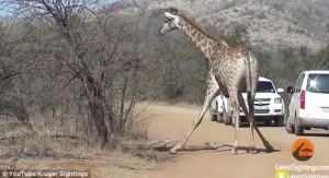 Guarda la versione ingrandita di YOUTUBE Leoni sbranano cucciolo: mamma giraffa non riesce a salvarlo