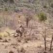 Leoni sbranano cucciolo: mamma giraffa non riesce a salvarlo