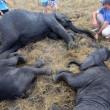 Malawi, troppi elefanti: 500 esemplari trasferiti3