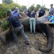 Malawi, troppi elefanti: 500 esemplari trasferiti2