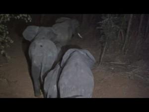 Malawi, troppi elefanti: 500 esemplari trasferiti7