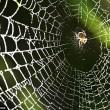 Ragni accordano ragnatela per catturare le prede2