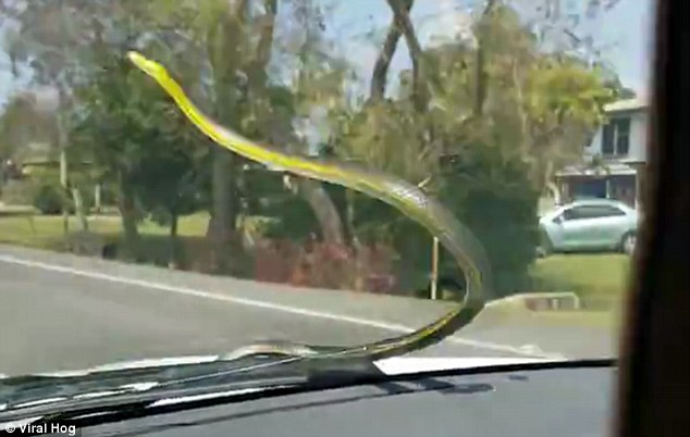 Serpente spunta dal motore e si attacca su finestrino auto in corsa3