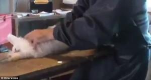 Guarda la versione ingrandita di YOUTUBE Pelliccia strappata ai conigli per ottenere angora VIDEO choc