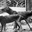 Tigre Tasmania, VIDEO mette in dubbio estinzione4