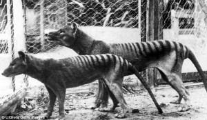 Guarda la versione ingrandita di YOUTUBE Tigre Tasmania, VIDEO mette in dubbio estinzione