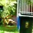 Tigre Tasmania, VIDEO mette in dubbio estinzione3